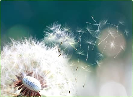 dandelion with seeds blowing into the air